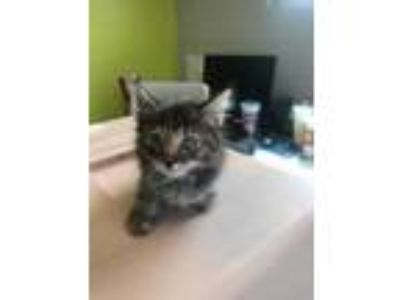 Adopt Ronin a Gray or Blue Domestic Longhair / Domestic Shorthair / Mixed cat in