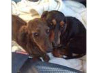 Adopt Bella & Toby a Dachshund