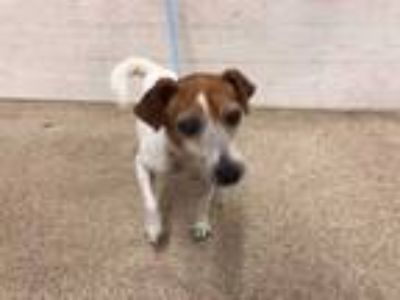 Adopt a White - with Tan, Yellow or Fawn Jack Russell Terrier / Mixed dog in