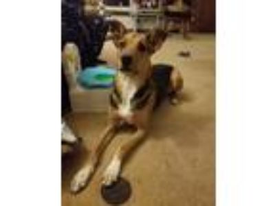 Adopt Gunner a Black - with Tan, Yellow or Fawn Whippet / German Shepherd Dog /