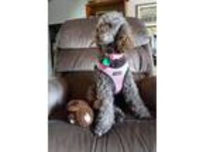 Adopt Chanel a Tan/Yellow/Fawn - with White Poodle (Miniature) / Mixed dog in