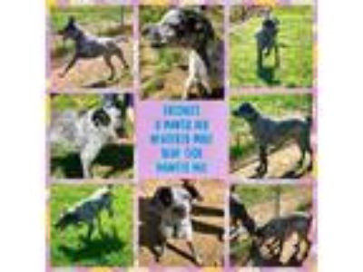 Adopt Freckles a Pointer, Mixed Breed