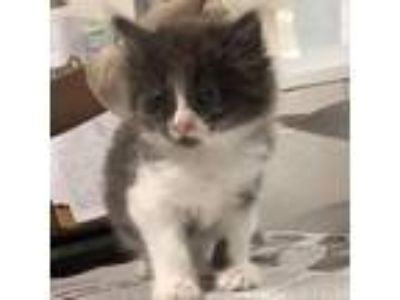 Adopt Penny a Gray or Blue Domestic Mediumhair cat in Jacksonville