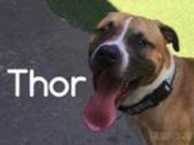 Adopt Thor a Brown/Chocolate American Pit Bull Terrier / Mixed dog in