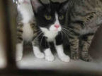 Adopt WIDOW a Black & White or Tuxedo Domestic Shorthair / Mixed (short coat)