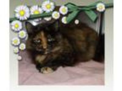 Adopt SMUDGE a Domestic Medium Hair, Tortoiseshell