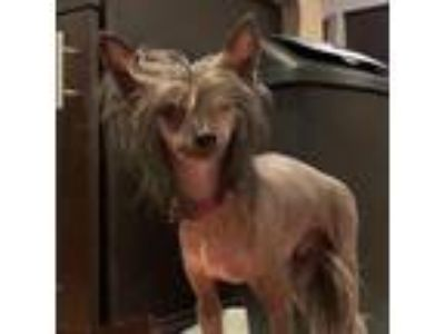 Adopt Harvey (New England) a Brown/Chocolate - with Black Chinese Crested /