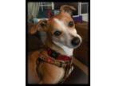 Adopt Benny a Beagle, Corgi