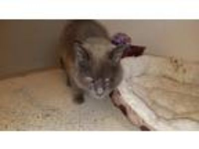 Adopt Church a Gray or Blue Domestic Shorthair (short coat) cat in Blountville