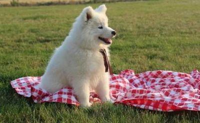 Samoyed PUPPY FOR SALE ADN-96105 - Pure bred Samoyed Puppy sweetest little Girl