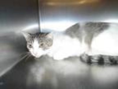 Adopt Cat a White (Mostly) Domestic Shorthair / Mixed (short coat) cat in