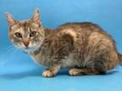 Adopt Momma June a Gray or Blue Domestic Shorthair / Mixed cat in St.