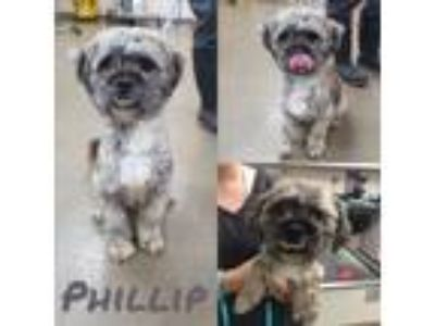 Adopt Phillip a Gray/Silver/Salt & Pepper - with White Lhasa Apso / Poodle