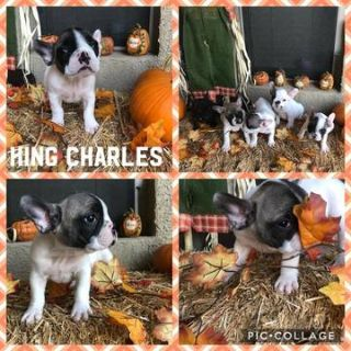 French Bulldog PUPPY FOR SALE ADN-98396 - Champion Sired French Bulldogs AKC Registered