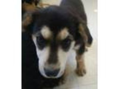 Adopt Scooby a Border Collie, Mixed Breed