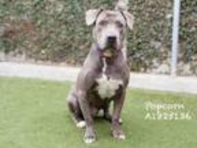 Adopt POP CORN a Mixed Breed, Pit Bull Terrier