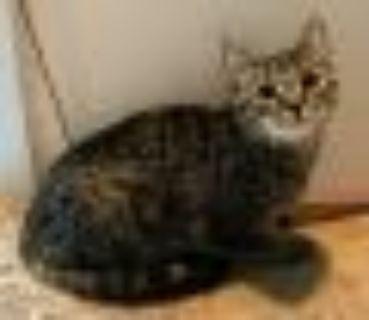 Tita Domestic Short Hair Cat