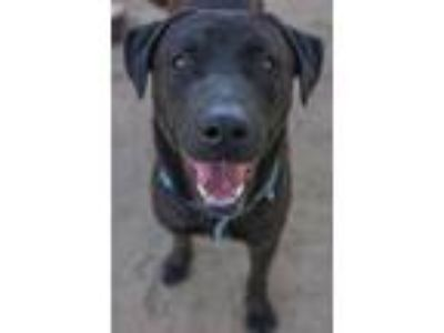 Adopt Newman Meyer a Black Labrador Retriever / Mixed dog in Seattle