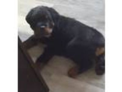 Rottweiler Puppies For Sale Classifieds In Plano Texas Clazorg