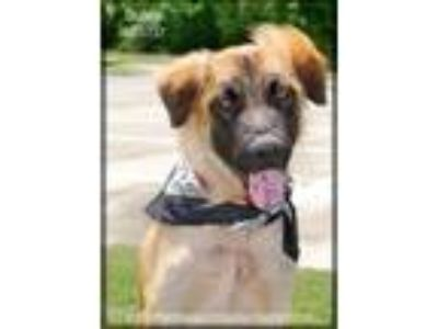 Adopt Dusty a Shepherd (Unknown Type) / Terrier (Unknown Type