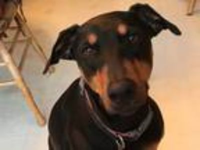 Adopt Gracie a Doberman Pinscher