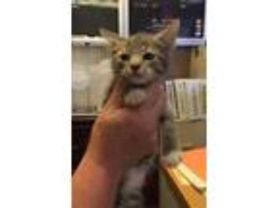 Adopt Gregory a Gray or Blue Domestic Shorthair / Domestic Shorthair / Mixed cat