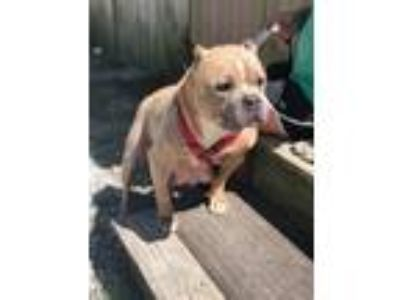 Adopt Diva a American Staffordshire Terrier / Mixed dog in FREEPORT