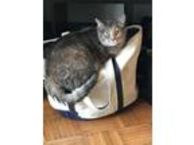 Adopt Mica a Tortoiseshell Domestic Shorthair (short coat) cat in Plainville