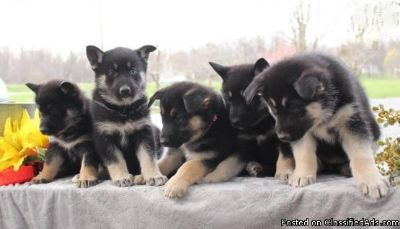 AKC German Shepherd Puppies for Adoption