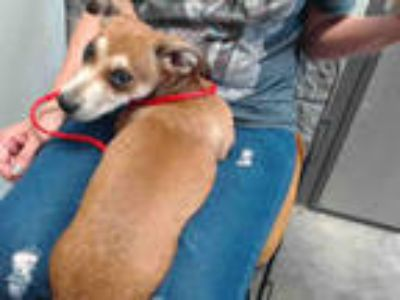 Adopt CODY TAYLOR a Brown/Chocolate - with White Dachshund / Mixed dog in Tulsa
