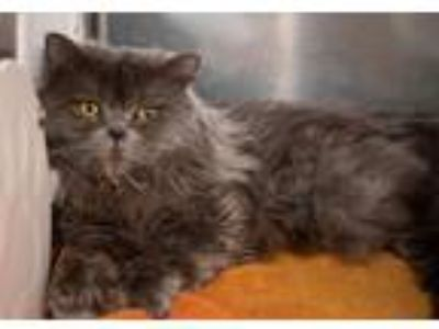 Adopt Hawkeye a Persian / Mixed (short coat) cat in Boone, IA (25294728)