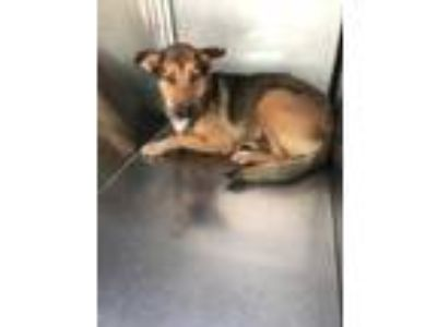Adopt Rory a Brown/Chocolate German Shepherd Dog / Mixed dog in Fort Worth