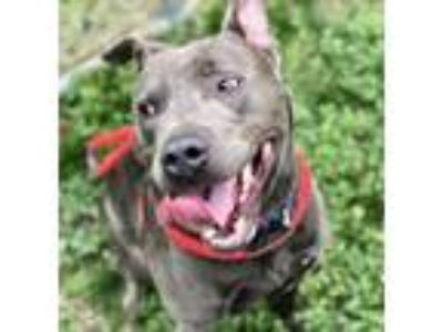 Adopt BLU a Pit Bull Terrier, Mixed Breed