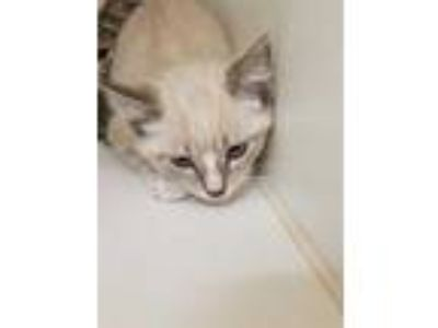 Adopt BUZZ ALDRIN a Brown or Chocolate (Mostly) Siamese / Mixed (short coat) cat