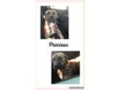 Adopt Precious a Brindle Bullmastiff / Boxer / Mixed dog in Nashville