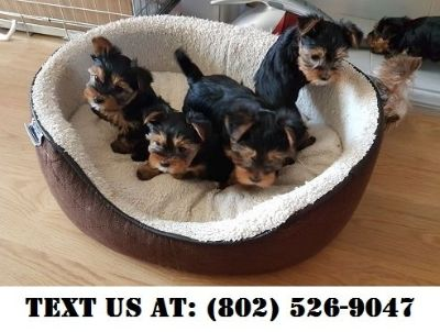 Yorkshire Terrier Puppies - Phoenix Classified Ads - Claz org
