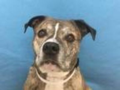 Adopt Obie a Tan/Yellow/Fawn American Pit Bull Terrier / Mixed dog in Coon