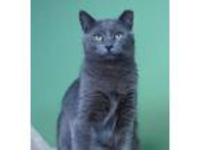 Adopt Flurry a Gray or Blue Domestic Shorthair (short coat) cat in Green Valley