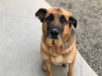 Adopt KEEGAN a German Shepherd Dog, Mixed Breed