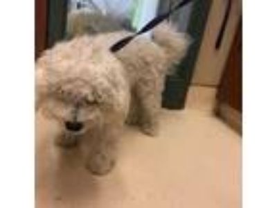 Adopt UNKNOWN a Poodle, Mixed Breed