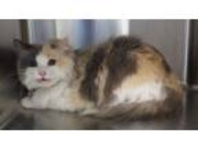 Adopt ARIEL a Domestic Long Hair