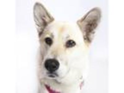 Adopt Nikki a White Akita / Mixed dog in San Francisco, CA (25433129)