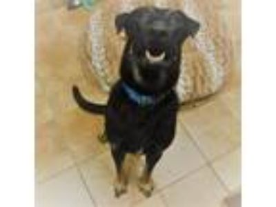 Adopt Hogan a Black Shepherd (Unknown Type) / Mixed dog in Fort Worth