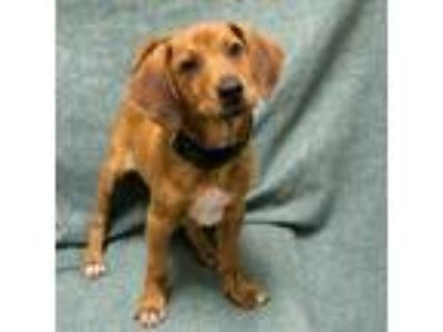 Adopt Burke a Tan/Yellow/Fawn Shepherd (Unknown Type) / Mixed dog in Saukville