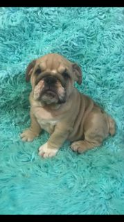 English Bulldog PUPPY FOR SALE ADN-90759 - Bella