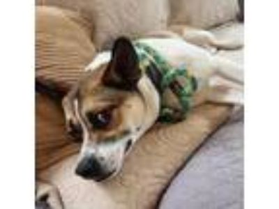 Adopt Rusty a Jack Russell Terrier, Beagle