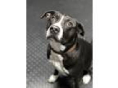 Adopt Riley a Labrador Retriever, Border Collie