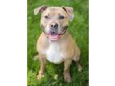 Adopt MISSY a Tan/Yellow/Fawn American Pit Bull Terrier / Mixed dog in Crystal