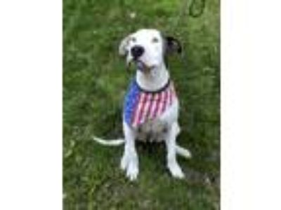 Adopt PETEY a American Staffordshire Terrier, Great Dane