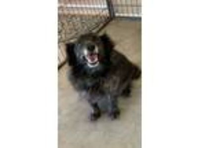 Adopt Little Doll a Black Spaniel (Unknown Type) / Mixed dog in Lynnwood